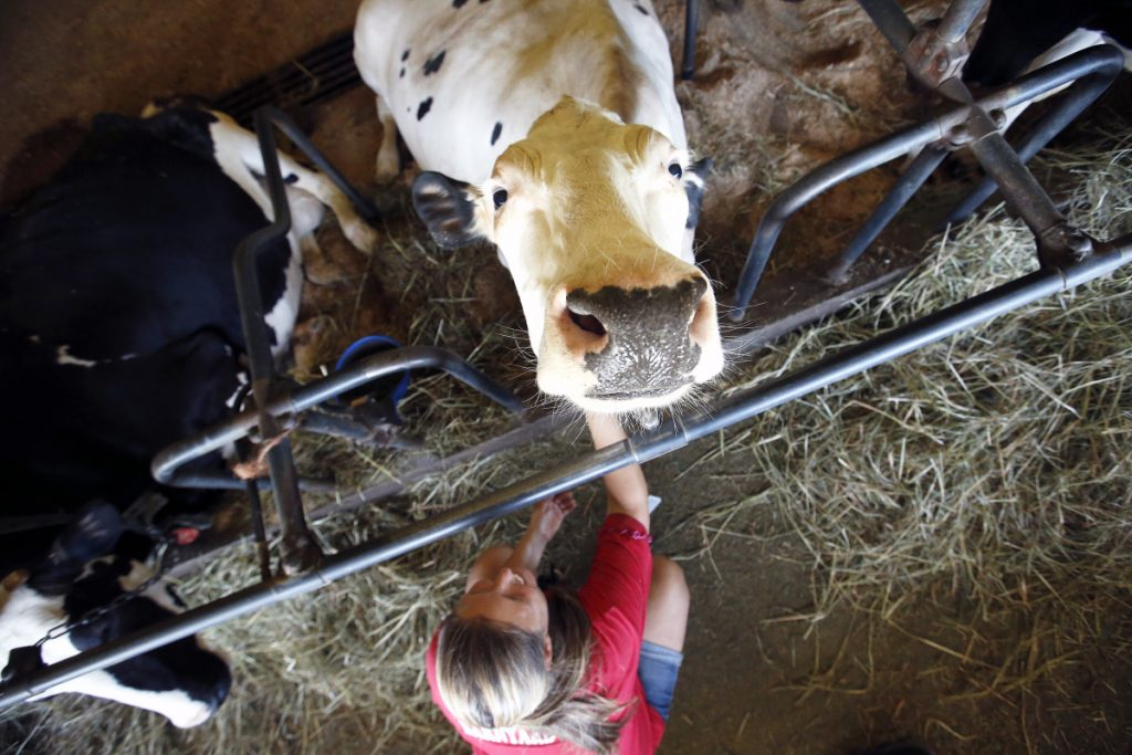 Beatle, a Holstein cow at Smiling Hill Farm, gets a scratch from animal caretaker Jamie McLaughlin on Wednesday. Equipment damage from a lightning strike on Tuesday – or perhaps several – has shut down milk processing at the farm.