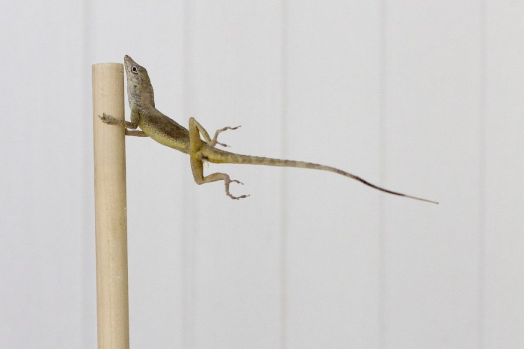 An anoles lizard hangs onto a pole during a simulated wind experiment in the Turks and Caicos Islands in 2017.