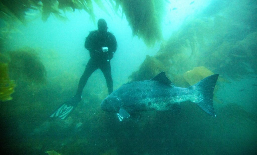 Marine biologists photograph an endangered giant sea bass swimming through the kelp beds off Catalina Island, Calif. The fish can live at least 70 years and weigh up to 560 pounds, but had been pushed to near extinction off Southern California.