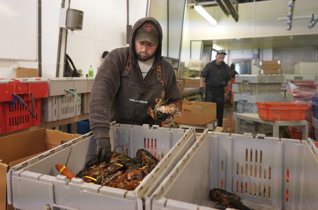 Richie Thurston sorts lobsters while processing orders for local restaurants at The Lobster Co. on Friday. Last summer, the Arundel company was exporting about $100,000 of lobsters to China on a good day, but with new retaliatory tariffs in place, exports to that market have completely dried up, forcing some cuts in staff.