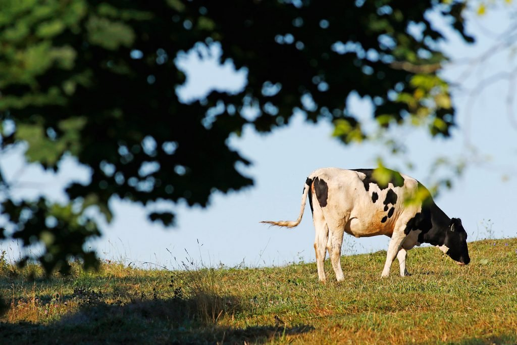 A cow grazes in early morning sunshine at Allard Farm on Blackberry Hill Road in Berwick on Thursday. A drought-tracking service says that dry conditions are expanding across the Northeast due to warmer than average temperatures.