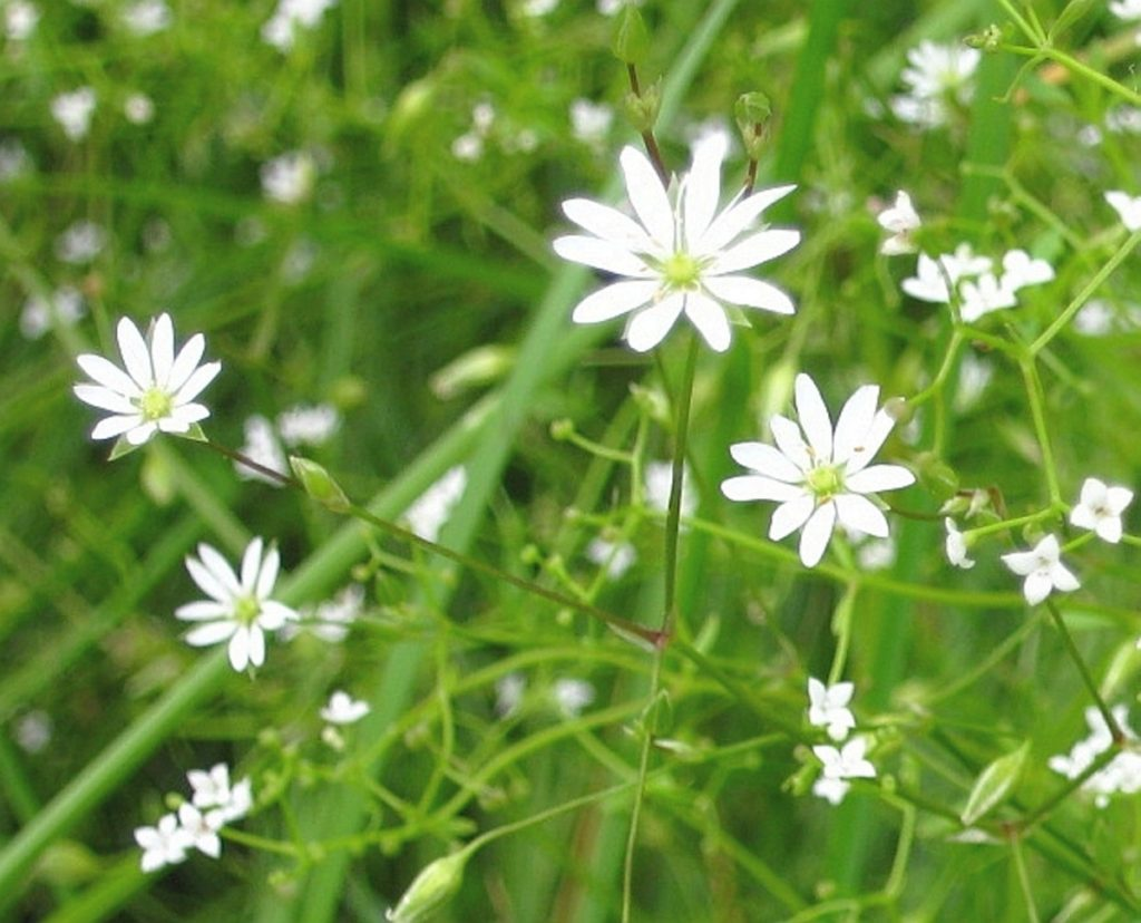 Lesser stitchwort and bedstraw blossoms in a field in Unity.