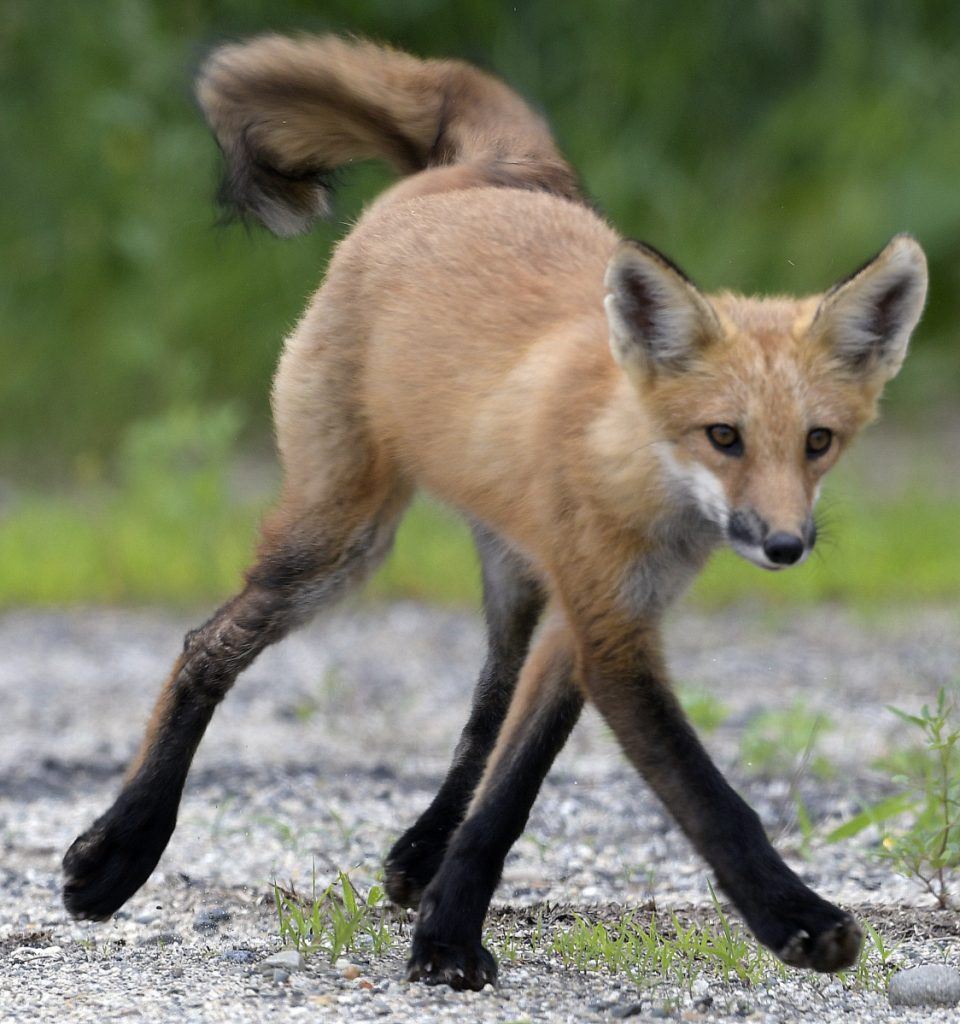 A red fox kit struts down a dirt road in Monmouth on Sunday. Curious young, wild canines may be admired from a distance, biologists say, to avoid injury to the animal and humans.