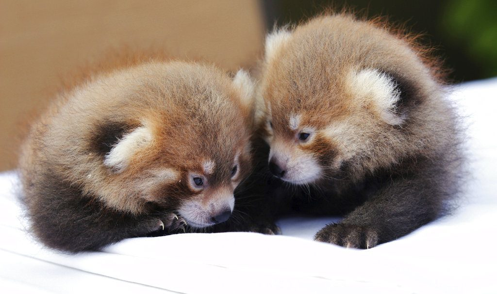 "Twin red pandas huddle with each other at the zoo Tuesday Syracuse, N.Y. Belonging to an endangered species found in Asia, the male cubs, born on June 21, 2018, to the zoo's breeding pair of red pandas, mother Tabei and father Ketu, have been named Loofah and Doofah after characters in ""The Land Before Time"" animated dinosaur film series."