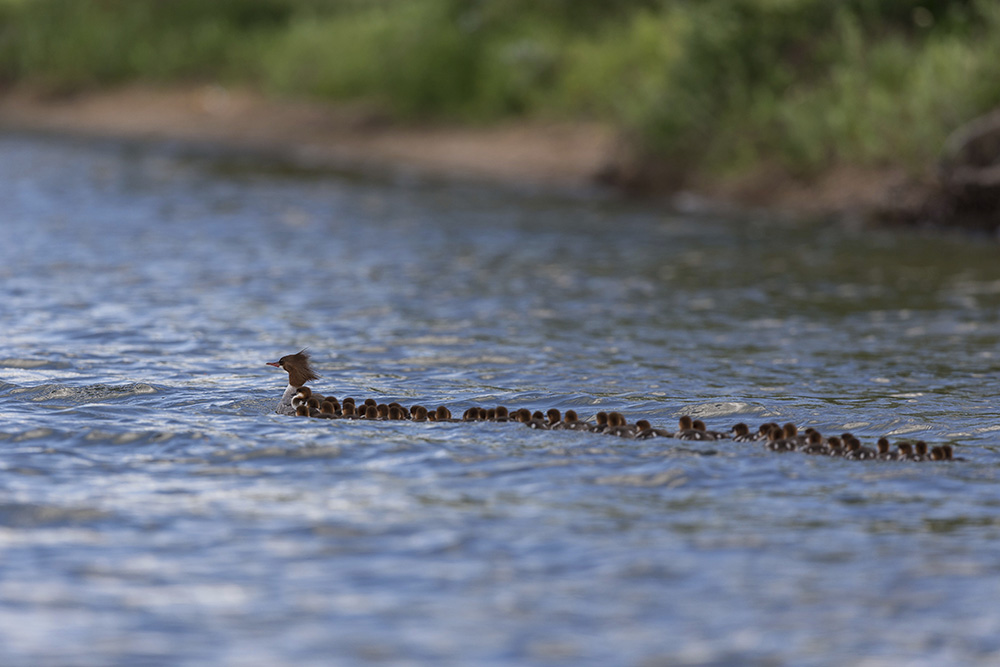 A common merganser is followed by a large group of ducklings, on a lake in Bemidji, Minn. in late June.