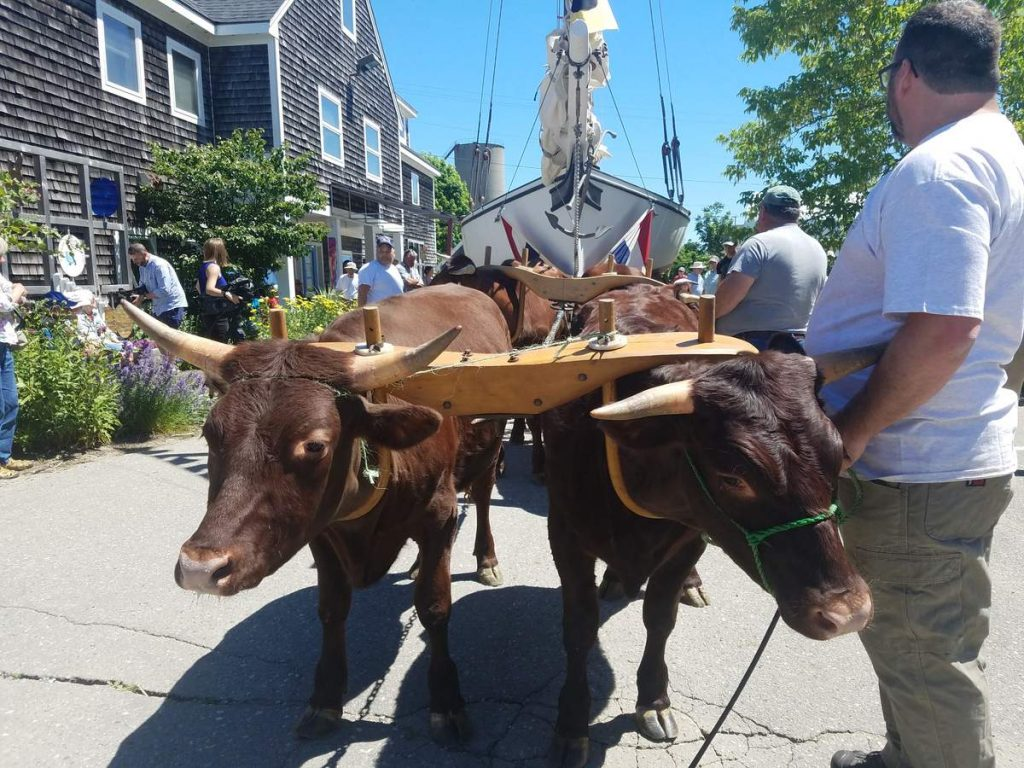 Four oxen tow the Friendship sloop Blackjack along Snow Marine Park on Saturday.