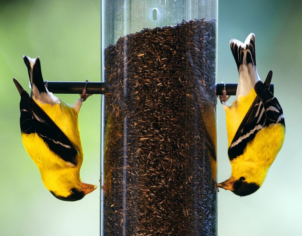 A pair of American goldfinches go head over tails for this bounty in a feeder. In Maine, when other species are heading south, the late mating season for goldfinches means their songs will be heard well into September.