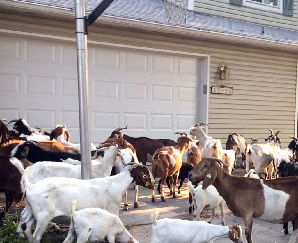 Scores of goats munch on flora and fauna in a residential area of Boise, Idaho, Friday.