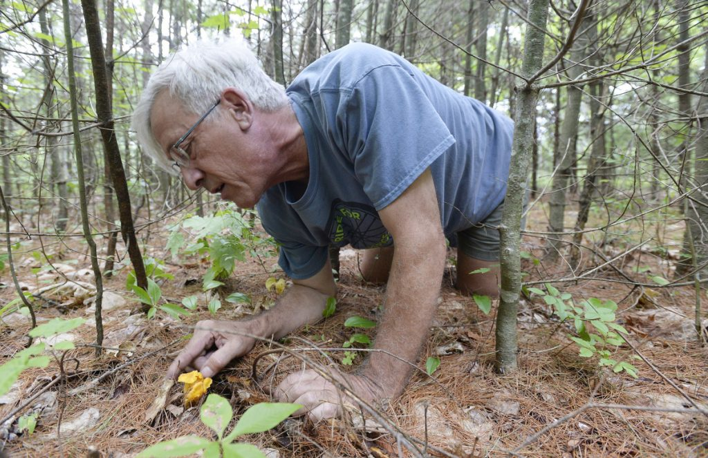 Mushroom forager Lee Huston inspects a chanterelle mushroom he spotted in the woods of Brunswick.
