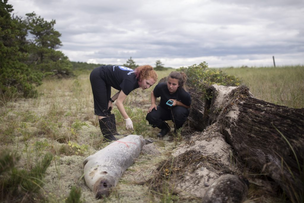 Kat King, left, and Katie Gilbert, interns from Marine Mammals of Maine, examine the body of a seal that washed up on Aug. 17 at Scarborough Beach State Park.