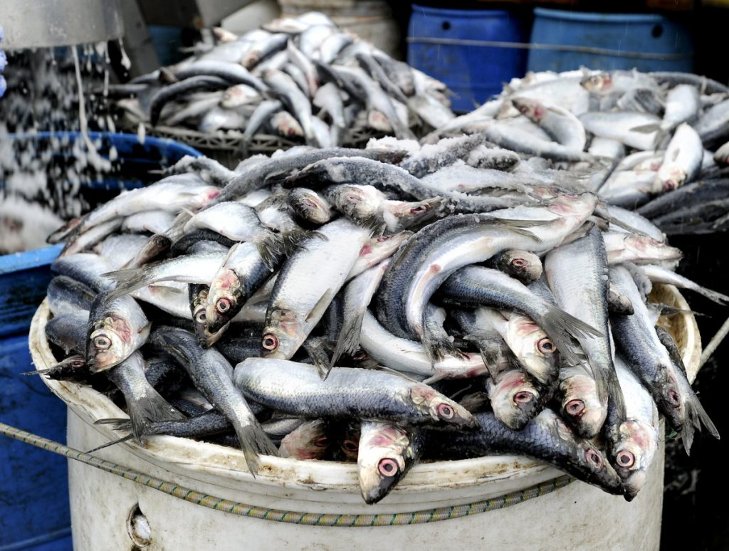 Herring is harvested for use as bait, food, fish oil and other products.