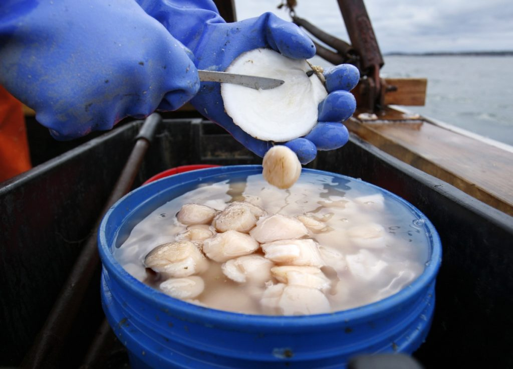 Scallop meat is shucked at sea off Harpswell. The Atlantic sea scallop is a New England mainstay and among the most valuable seafood items in the United States.