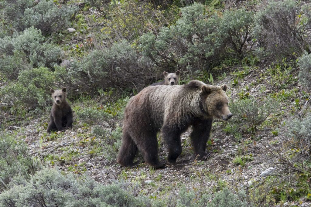 Though grizzly bears have increased in number since coming under federal protection, conservationists fear that even limited hunting could pose serious threats to the well-being of the iconic animals that, among other things, bring tourists to national parks.