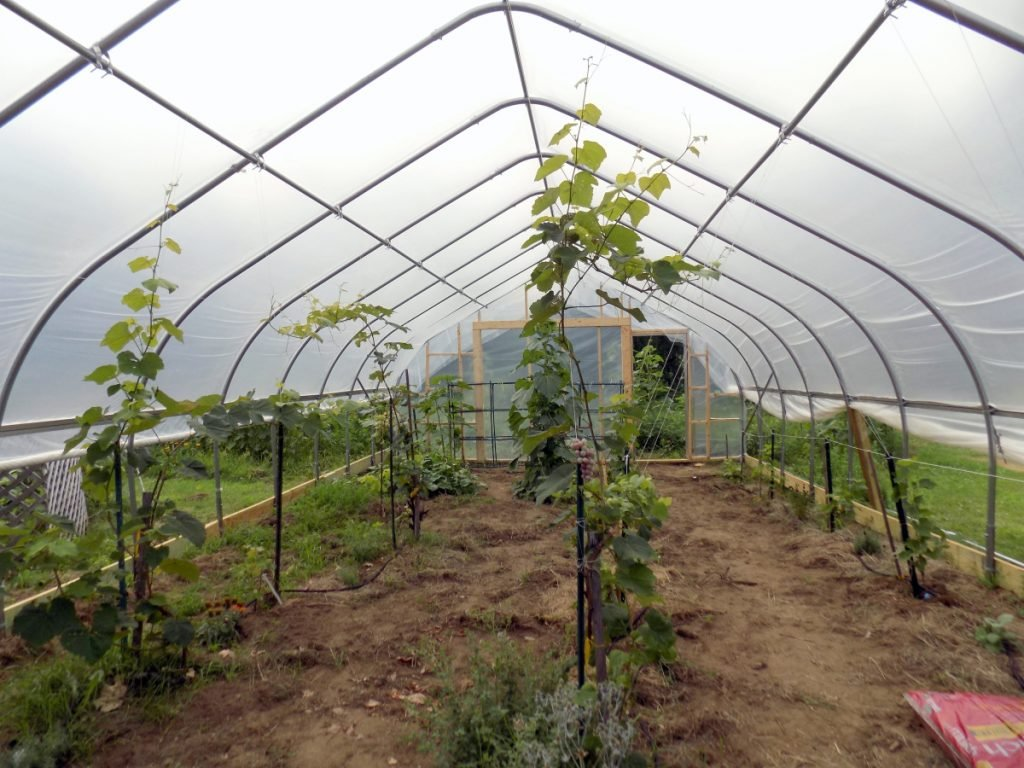 Frontenac grape vines grow in a hoop house at Kennebec Home Brew Supplies, 235 Farmington Falls Road, Farmington. The hoop house may be the first in Maine for growing grapes for wine production.