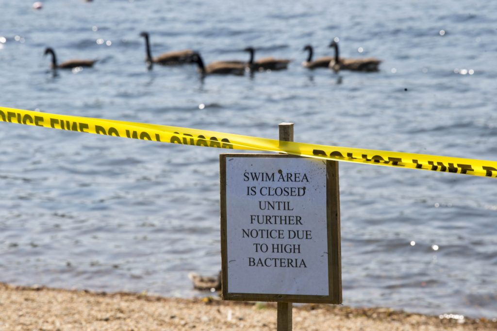 Geese swim through the designated swimming area Tuesday at Messalonskee Lake in Oakland. The beach has been closed because it tested positive for E. coli, which officials think was caused by goose feces in the water and recent high temperature.