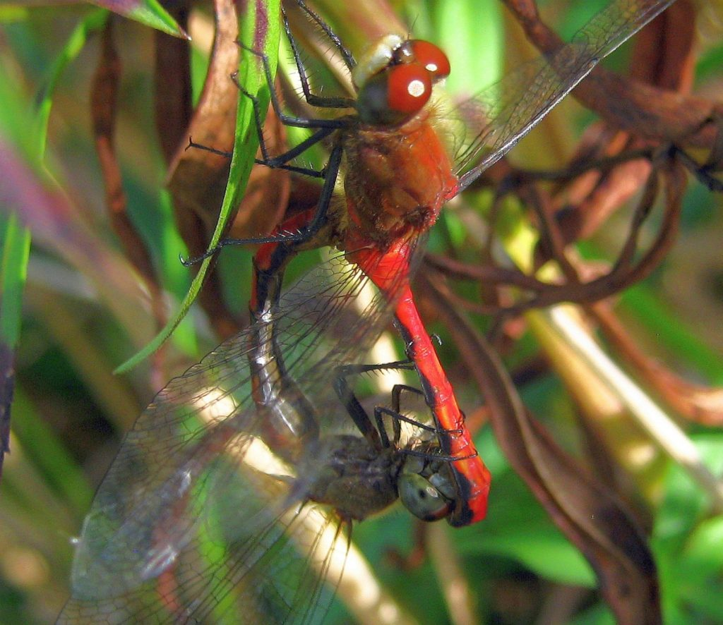 Two dragonflies mating in the Unity park in September 2015. The male is holding the female's head with the tip of his tail. This has not been a common sight in the park for several summers.