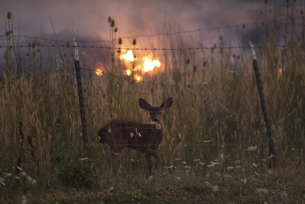 With fire burning on multiple sides, a deer stands behind a fence as the River Fire tears though Lakeport, Calif., on Tuesday, July 31, 2018.