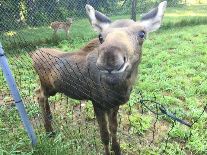 The moose calf has quadrupled in size since coming to the Maine Wildlife Park in Gray less than two months ago.
