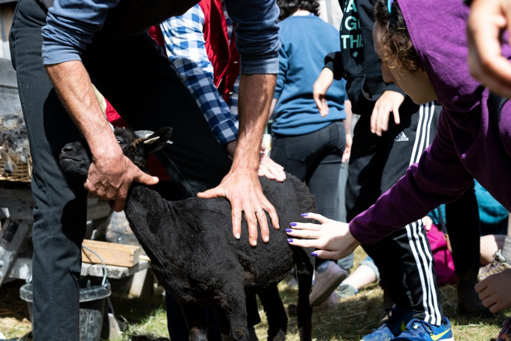 Jeff Burchstead holds a shorn sheep as he invites others to feel the wool Saturday morning at the Common Ground Country Fair in Unity.