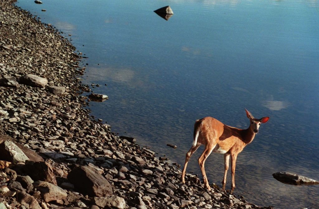 A doe drinks from Chamberlain Lake in the Allagash Wilderness Waterway.