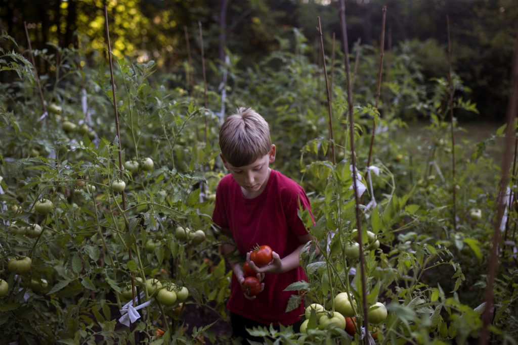 Trevor Williams, 8, picks ripe tomatoes from his garden in his backyard in Buxton on Friday.