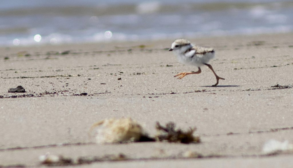 Piping plovers are flourishing as a result of the efforts of Maine Audubon, state and federal agencies, landowners and municipalities. The state had 68 nesting pairs that fledged 128 birds this year, the most in the state since 1981, according to Maine Audubon.