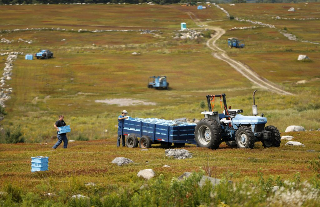 "In this Friday, Aug. 24, 2018, photo, Ken Cox carries trays of wild blueberries to a tractor at a farm in Union, Maine. The blueberries grow wild, as the name implies, in fields called ""blueberry barrens"" that stretch to the horizon in Maine's rural Down East region and parts of the midcoast area."