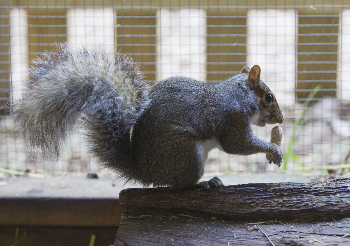 boom and doom squirrel population surges in northeast as does