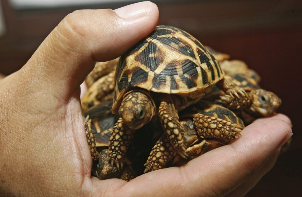 A Thai customs official displays a seized Indian star tortoise in Bangkok. A wildlife monitoring group says research it conducted found that people are increasingly buying and selling endangered animals on Facebook.