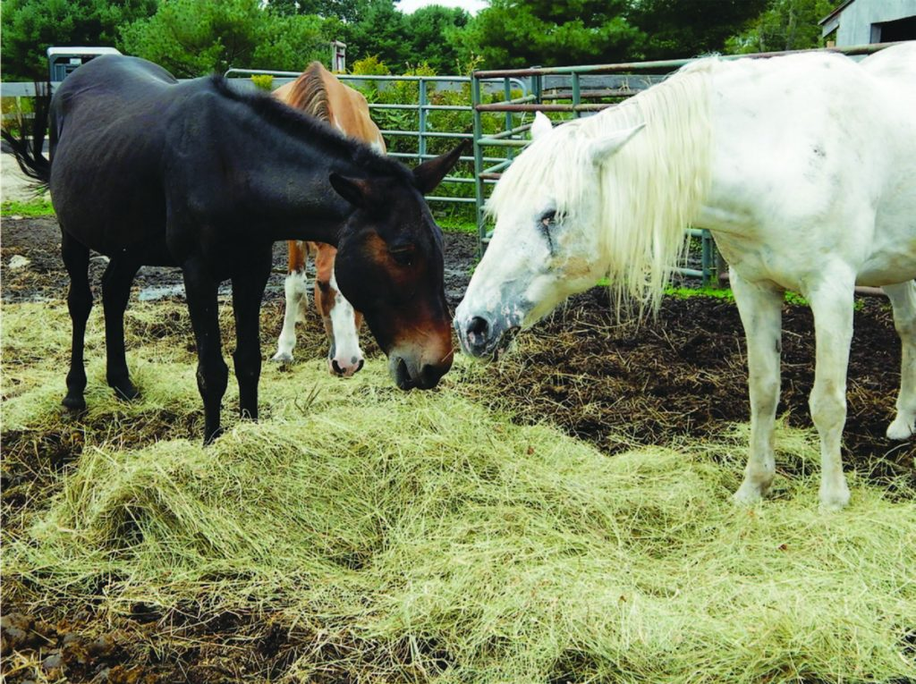Jazz, right, a blind mustang-appaloosa mix, eats hay with his mule companion, Grant, at Ever After Mustang Rescue in Biddeford. Jazz, now 19, arrived at the shelter in 2007.