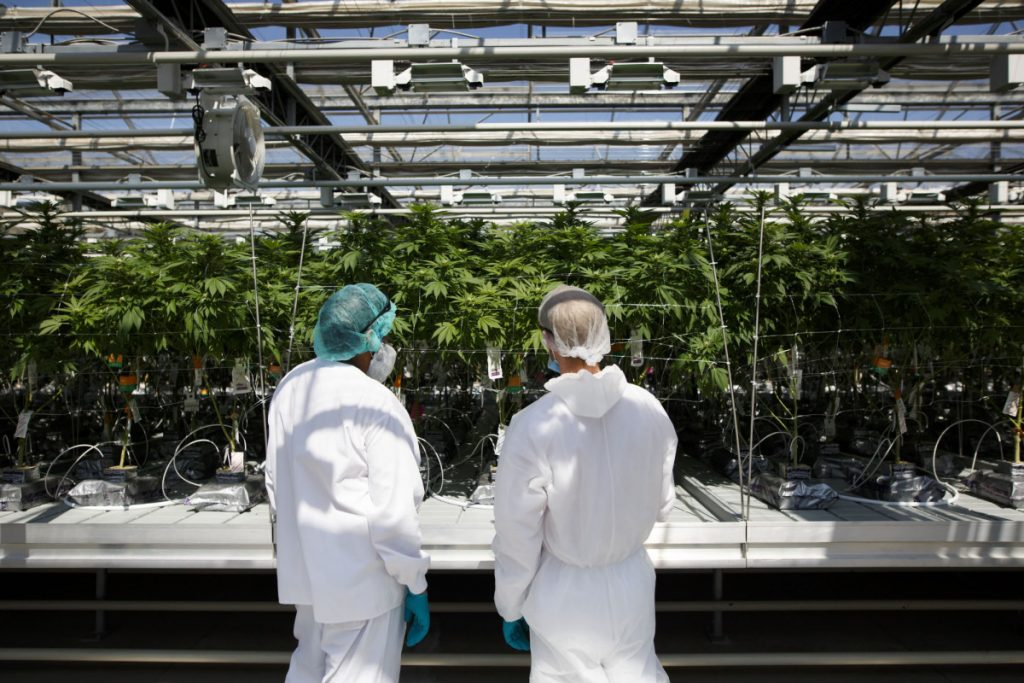 Employees inspect cannabis plants at the CannTrust Holdings Inc. Niagara Perpetual Harvest facility in Pelham, Ontario.