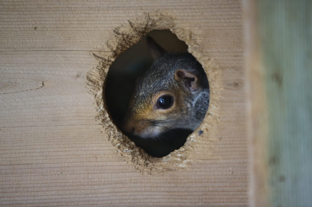 An adult eastern gray squirrel peaks out of its enclosure at the Center for Wildlife on Tuesday. The squirrel was found injured in a road and brought to the shelter.