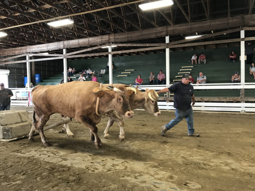 Matt Gagne, of Sidney, directs two steers, named Brindal and Pete, pulling a weighted load Friday through a course at the Litchfield Fair.