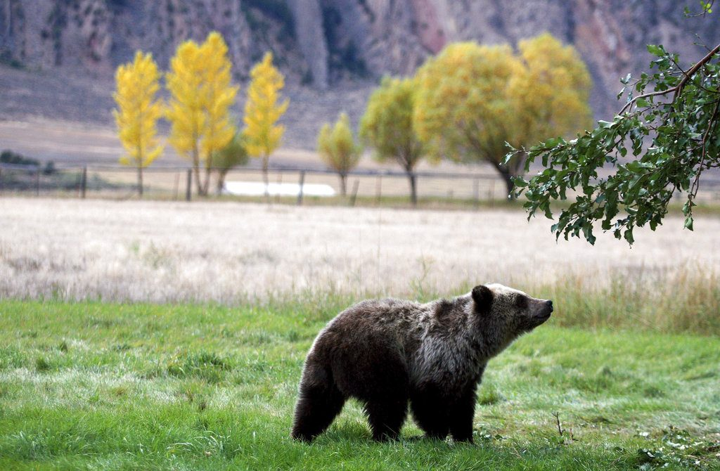 On Monday, a federal judge restored federal protections to grizzly bears in the Northern Rocky Mountains and blocked the first hunts planned for the animals in the Lower 48 states in almost three decades.