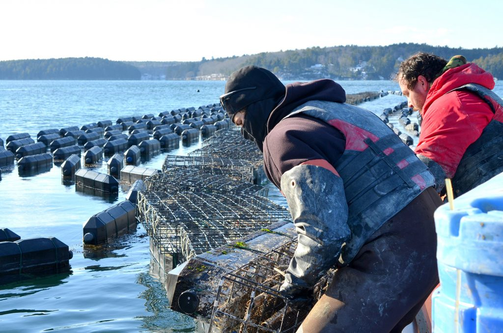 Employees of Mook Sea Farm load bags of oysters from a hatchery into growing cages on the Damariscotta River in this 2015 photo.