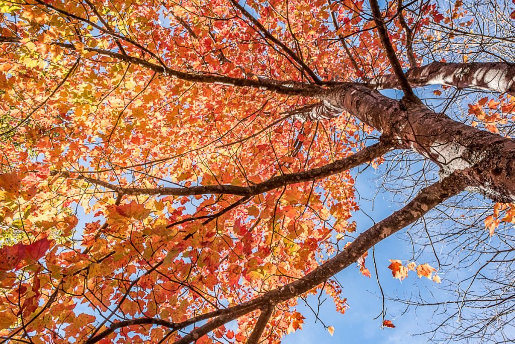 Maple trees are among some of the most colorful autumn trees in Maine.