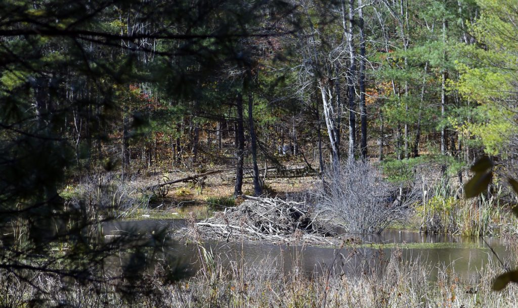 A beaver hut overlooks flowage Thursday next to Northern Avenue in Farmingdale.