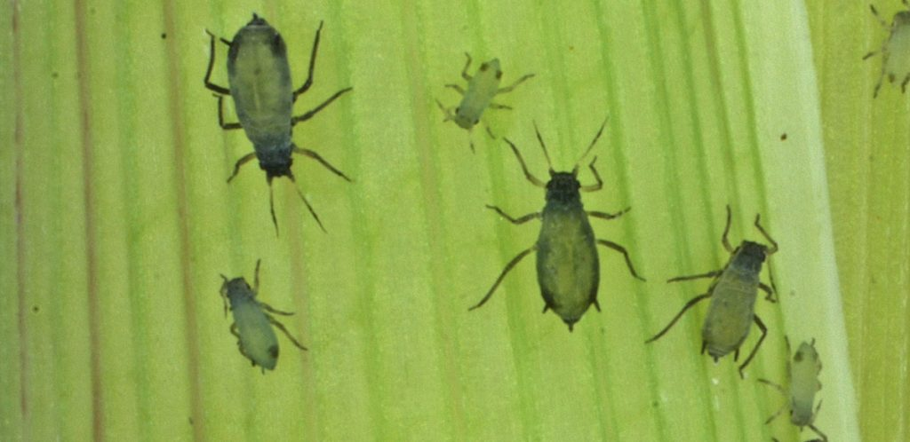 The U.S. military says its goal is to use insects like corn lead aphids, above, to protect the food supply.