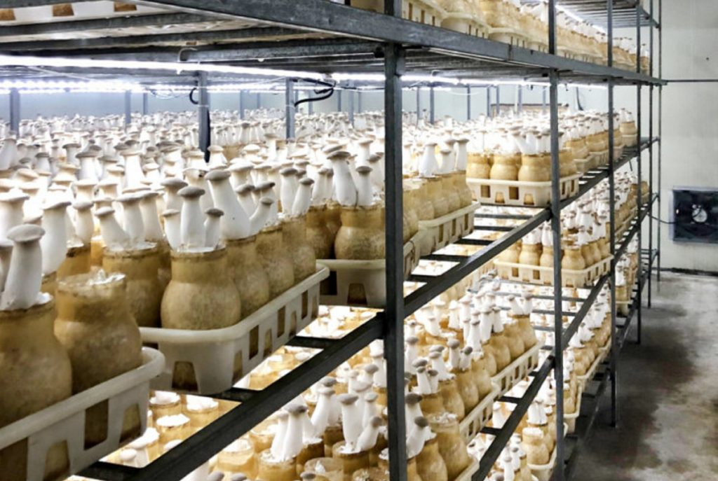 Mushrooms grow in rows of stacked shelves recently in a Chinese facility toured by Auburn Mayor Jason Levesque and Economic Development Director Michael Chammings.