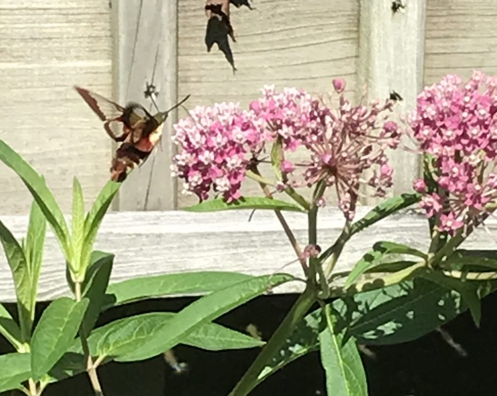 A hummingbird moth hovers near a swamp milkweed plant, which also attracted monarch butterflies.