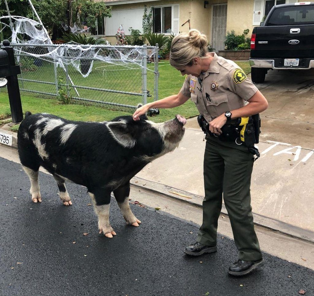 Deputies used Doritos to lure a large, wayward pig back home after it escaped in Highland, California on Oct. 13.