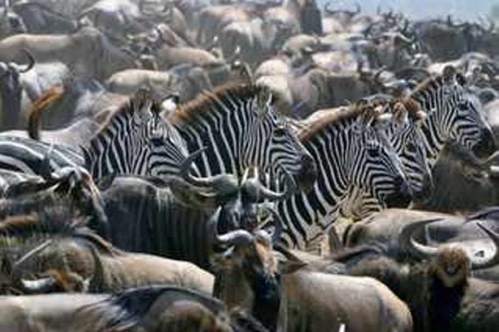 """This photo of a Zebra migration during the Great Migration in Tanzania is on the cover of """"Can I Carry Your Luggage?"""""""