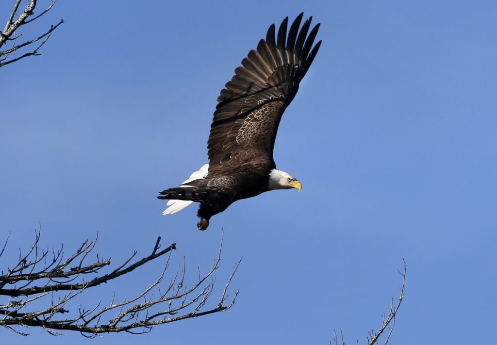 In this March 31, 2015 file photo, a bald eagle takes flight in Newcastle. Bald eagles are in the midst of record population growth in the northern New England states and could find themselves removed from all state endangered lists.