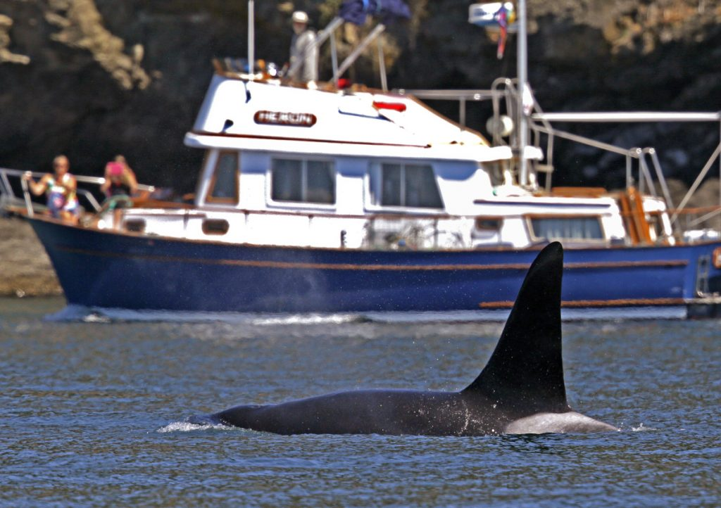 While orca watching is a popular activity in Puget Sound, disturbances from boats can interfere with the whale's natural behavior.