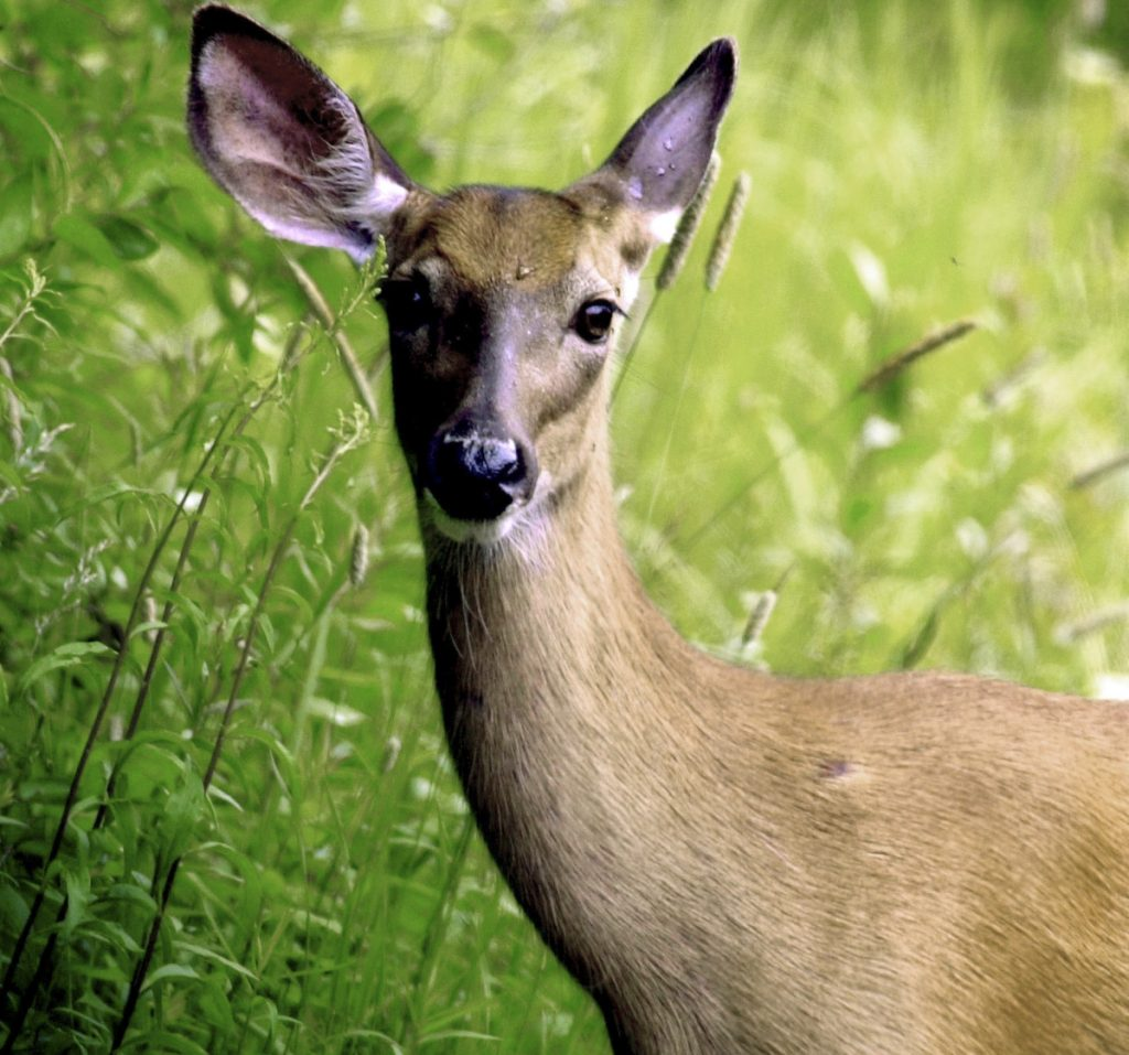 During breeding season, deer are more likely to roam about during daylight hours, sometimes recklessly, as they look to mate.