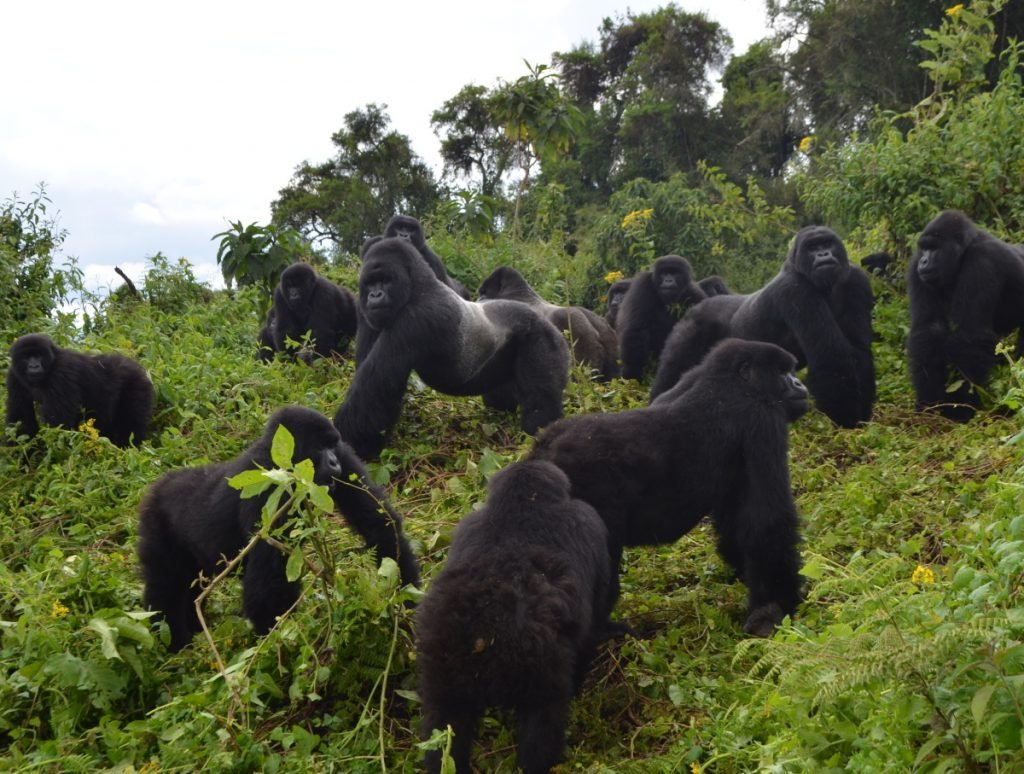 Mountain gorillas live in lush and misty forests along a range of dormant volcanoes in Africa. This group lives in Rwanda's Volcanoes National Park.
