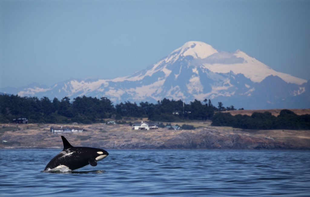 A southern resident orca breaches in Haro Strait just off San Juan Island's west side with Mt. Baker in the background. Northern resident orcas live in the cleaner, quieter waters of northern Vancouver Island.
