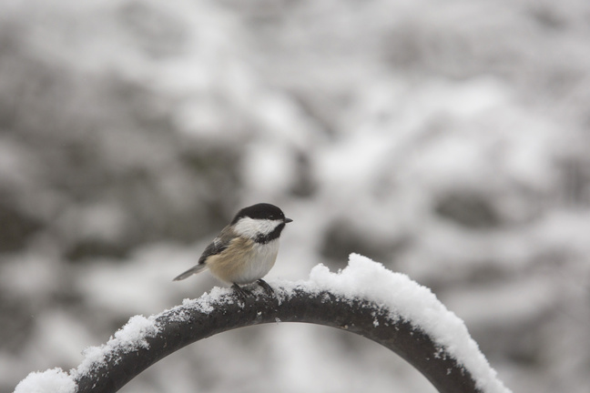 A black-capped chickadee hangs out at Gilsland Farm in Falmouth.