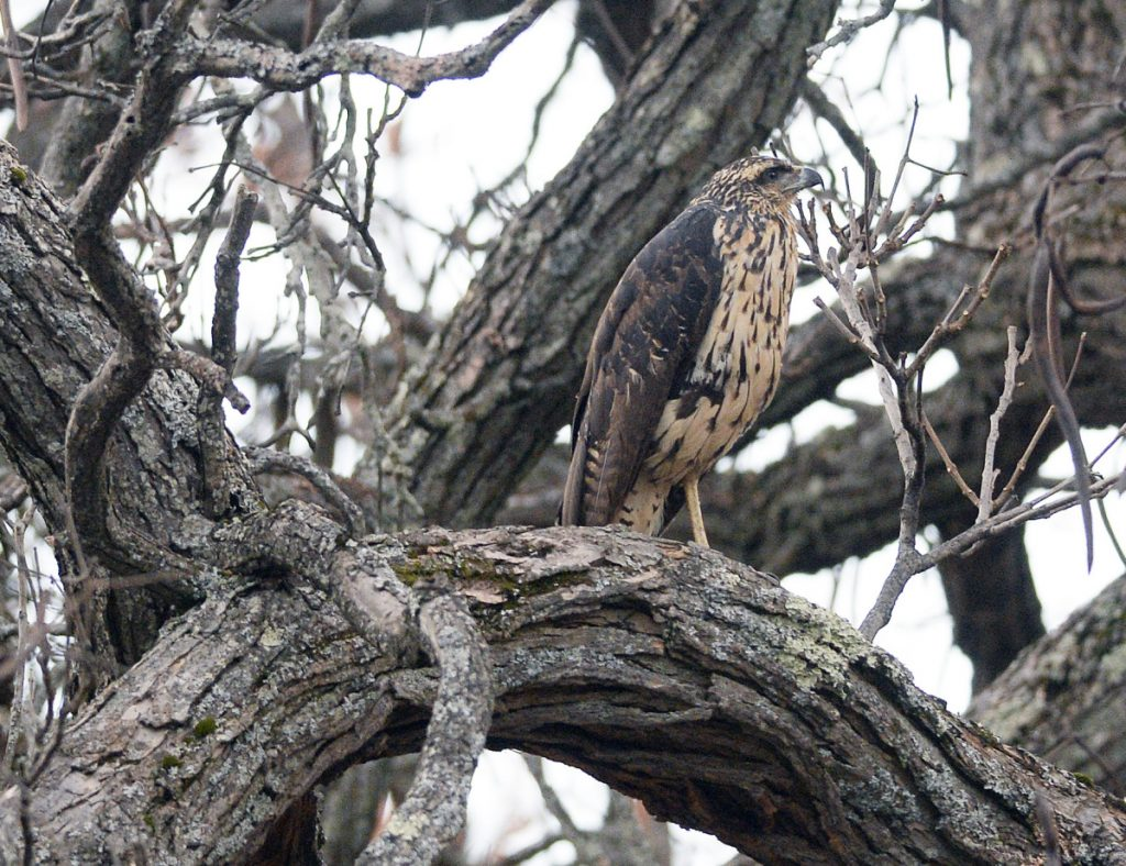 A great black hawk perches in Portland on Thursday. The bird, a native of Central and South America, appears to be sticking around since it was first sighted in Biddeford in August.