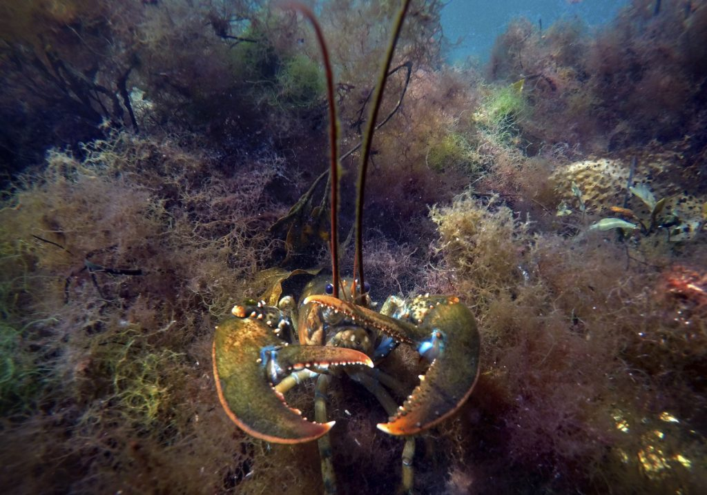 Trade hostility from across the ocean was supposed to take a snip out of the U.S. lobster business, but the industry is getting help from Canada with its heavy demand for American lobster.
